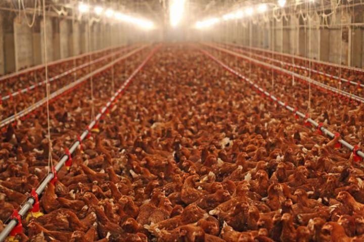 13666-productivisme_et_gigantisme_decouvrez_la_ferme_des_250000_poules_de_doullens